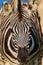 Stock Image : Zebra Colt Foal Portrait