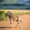 Stock Image : Zebra foal
