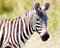 Stock Image : Zebra on a pasture