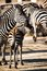 Stock Image : Zebra in Serengeti National Park