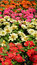Stock Image : Zinnia flowers