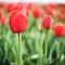 Stock Image :  Zone de belles tulipes rouges
