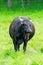Stock Image :  Zwarte koe in een groen weiland