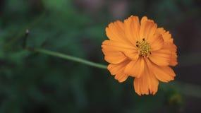  anaranjado ŠèŠ± del è del  del› del é de la margarita de la flor fotos de archivo libres de regalías