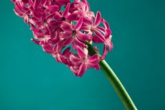 Beautiful flower of hyacinth Stock Photography