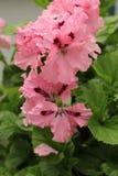 ¡ Arisbrooke för pelargonia Ð Closeup av en blommande rosa pelargon arkivfoton