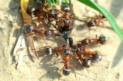 ¡ De Ð olony des fourmis rouges Photographie stock