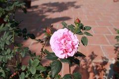 ¡Belleza de Rose en la casa! Imagen de archivo