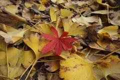 ¡Biloba y hojas de arce del Ginkgo, paisaje del otoño, ramas marchitadas y hojas un poco rojo! foto de archivo libre de regalías