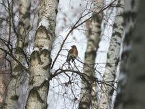¡Bosque del invierno! ¡Pájaros que picotean bayas! fotografía de archivo libre de regalías