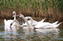 ¡Cisne hermoso! fotografía de archivo libre de regalías