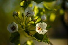 ¡El venir de la primavera! Las flores de la pera destacaron por el sol foto de archivo