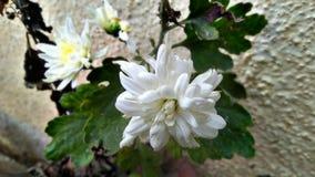 ¡Flor del crisantemo! Fotos de archivo