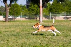 ¡Funcione con la corrida del beagle! Imagen de archivo
