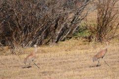 ¡Grúas de Sandhill camufladas en un campo! Imagen de archivo