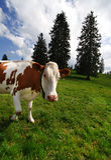 ¡Hola vaca! Imagen de archivo libre de regalías