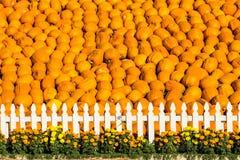 ¡La Gran Muralla de calabazas! Foto de archivo libre de regalías