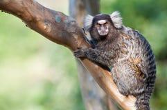 ¡Mono que le mira! Fotos de archivo
