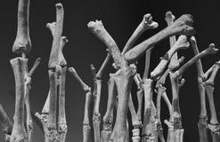 ¡Ningunos huesos sobre él! Fotografía de archivo libre de regalías