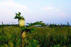 ¡Planta peligrosa - hogweed, peligroso! fotos de archivo