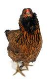 ¡Quién usted pollo de Callin?! Foto de archivo libre de regalías