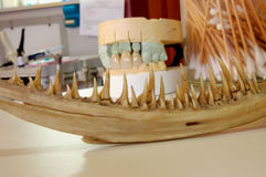¡Quijadas con los dientes! foto de archivo libre de regalías