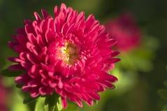 ¡Rojo hermoso! Fotos de archivo libres de regalías