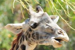 ¡Tiempo del bocado de la jirafa! foto de archivo libre de regalías