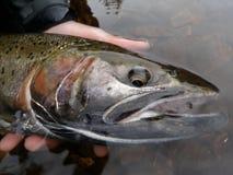 ¡Trucha de trucha arco iris en sorprender Alaska!! imagen de archivo libre de regalías