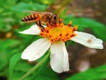 ¡Una abeja del manosear en una flor blanca! Fotos de archivo libres de regalías