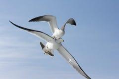 ¡Una gaviota que se coloca encima en la otra gaviota del vuelo! Fotografía de archivo