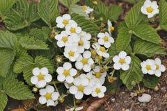 «Mara De Bois' ogrodowa truskawka kwitnie, Fragaria x ananassa, Bavaria, Niemcy, Europa zdjęcie royalty free