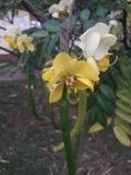 «wal ahela «sinhala słowa kwiat sri lanka zdjęcie stock
