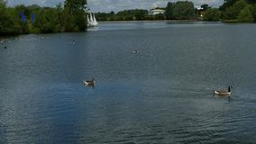«Waterfowl «, gąski, jezioro i łodzie w słonecznym dniu, obraz stock