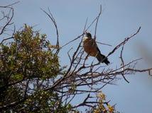 «Zorzal «w górę zamknięty odpoczywać na drzewie zdjęcie royalty free