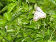 ³ n Mariposa BLANCA Marrà en Plantas Verdes stockbild