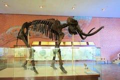1º de dezembro de 2018 Rússia, Moscou Museu da paleontologia Esqueleto gigantesco fotografia de stock