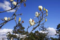 ¼ Œ del flowerï de la magnolia del ¼ Œ del denudateï de la magnolia en la plena floración con el fondo del cielo azul fotos de archivo