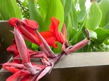 ¼ Œgarden del plantï de la flor de Œred del ¼ de Canna Flowerï imagenes de archivo