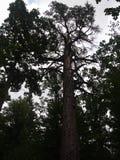 ¼ owieÅ 'BiaÅ sosna Tsaritsa национальный парк, Беларусь Стоковые Изображения RF