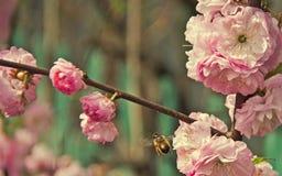 ½ иÐ? DEL  аРDEL ¿Ð¸Ñ DEL ¾ Ð DE Ð: la abeja se sienta en las flores rosadas Foto de archivo