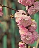 ½ иÐ? DU  аРDU ¿ Ð¸Ñ DU ¾ Ð DE Ð : l'abeille se repose sur les fleurs roses Images stock