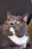½ Ð?Ñ, gato británico del ¾ Ñ Ð±ÑиÑаРde кРfotografía de archivo