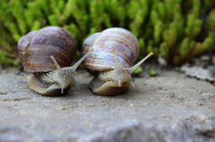 ¾ к/una coppia di lumache del 'Ð di Ð¸Ñ di Пара уЄ Fotografie Stock