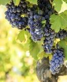 ¿ G growinÐ виноградин вина Угроза виноградины - конец-вверх Стоковые Фотографии RF