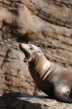 ¿León de mar soñoliento? Fotos de archivo