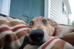 ¿Mán perro? Fotografía de archivo