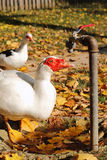 ¿Pato o ganso? Fotos de archivo libres de regalías