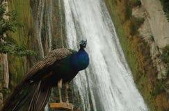 ¿Pavo real y cascada? Bejiai - Argelia Foto de archivo