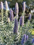 ¿Puede alguien decirme lo que esta planta púrpura llamada? imagen de archivo libre de regalías